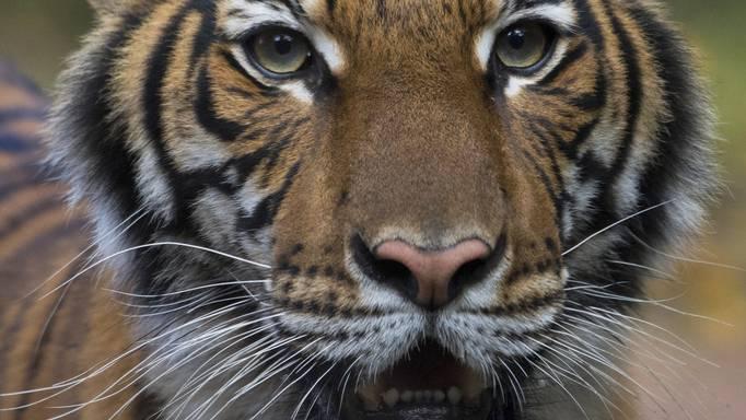 Tigerweibchen in New Yorker Zoo positiv getestet