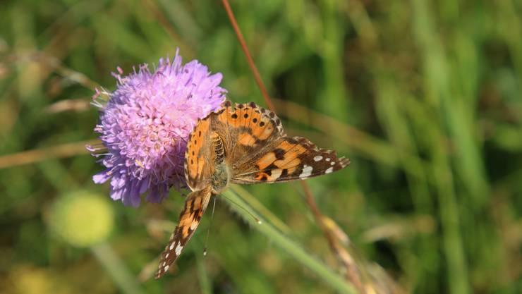 Durch Landschaftsaufwertungen sollen die Lebensräume seltener, bedrohter Schmetterlingsarten verbessert werden. (Symbolbild)