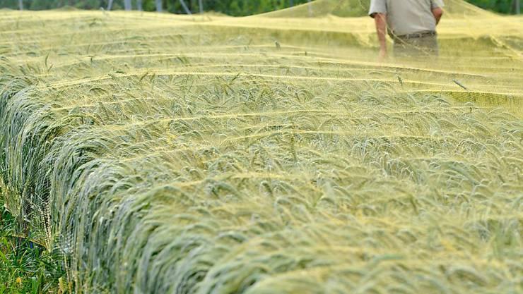 Der Anbau gentechnisch veränderter Pflanzen bleibt weiterhin der Forschung vorbehalten. Versuchsfeld mit Weizen der Forschungsanstalt Agroscope. (Archivbild)