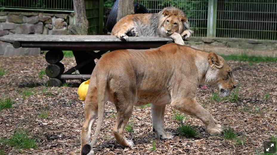 Löwen und Tiger wieder im Zoo