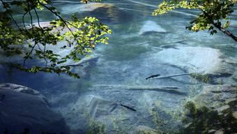 In den Fischzuchtanlagen des Blausees im Kandertal ist es nach Angaben der Betreiber in den letzten Jahren immer wieder zu  Fischsterben gekommen.