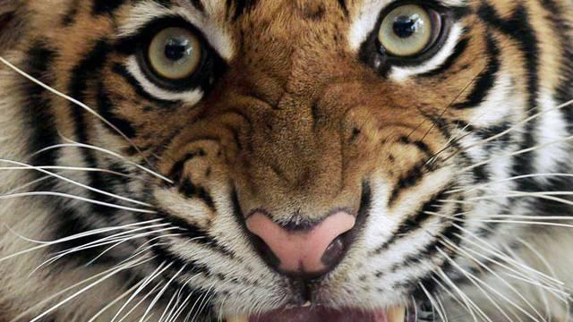 Tiger in Indonesien (Archiv)