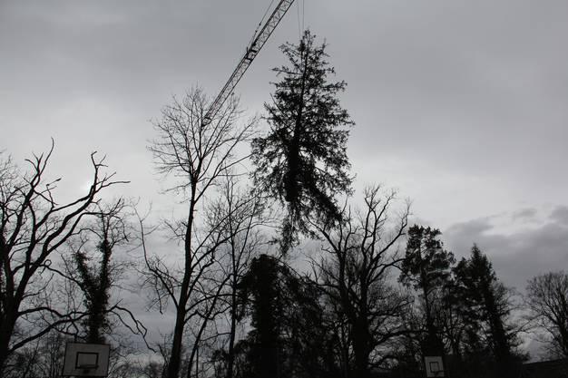 Die Fichtenspitze wird elegant durch die Luft abtransportiert.