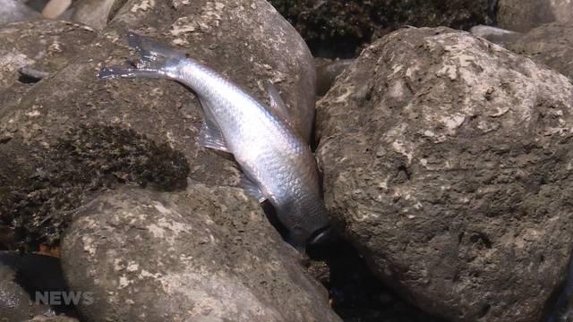 18'000 tote Fische in Freiburg