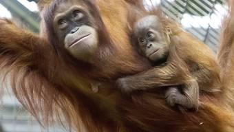 Orang-Utan-Dame mit einem Jungen im Zoo Zürich (Archiv)