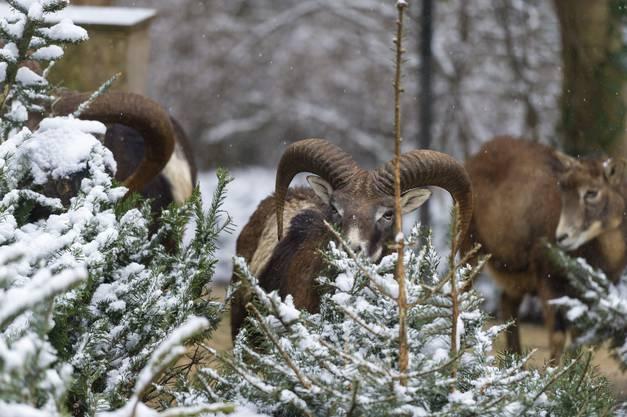 Auch die Mufflons haben ihren Spass mit den Weihnachtsbäumen