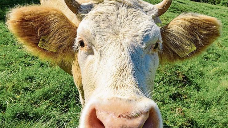Um 20 Prozent kann der Methanausstoss von Kühen gesenkt werden, wenn sie Rotalgen als Futterzusatz erhalten.