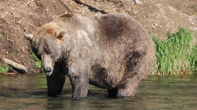 Alaska kürt den dicksten Bären – «Otis» gewinnt die Wahl