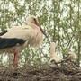 Die kalten Temperaturen setzen nicht nur uns zu, sondern auch den Storchenjungen.  Mehrere Jungtiere starben deswegen in der Storchenkolonie in Altreu.