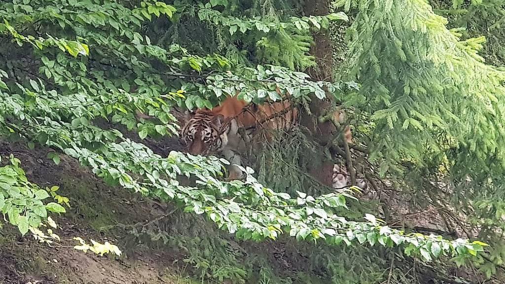 Tigerin Irina darf nach tödlichem Angriff weiterleben