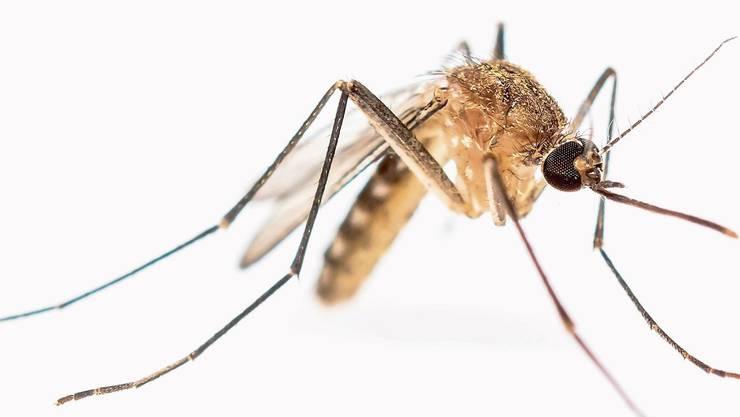 Malaria-Überträger.