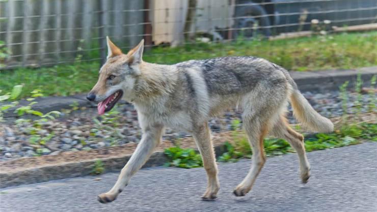 Ein Tschechischer Wolfshund irrt in der Region Aarau umher. Jiri Vurma
