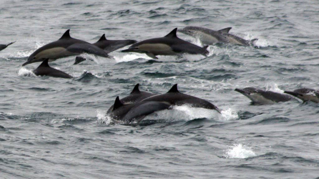 Im Ärmelkanal sind Delfine vielen Schadstoffen ausgesetzt. (Symbolbild)