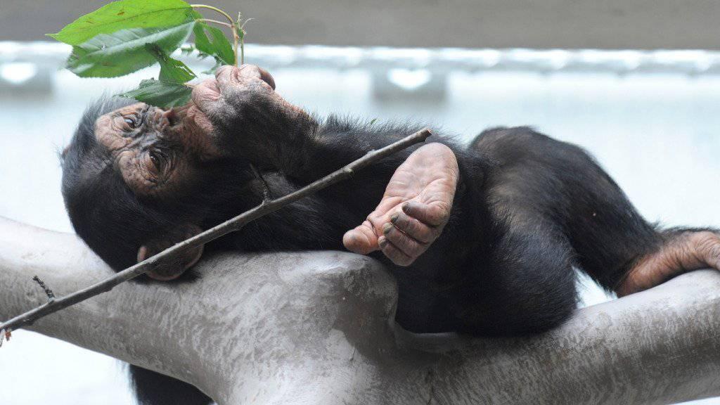 Drohne mit Zweig vom Himmel geholt: Schimpanse in einem Zoo in den Niederlanden (Symbolbild)