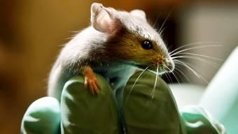 Eine Maus sitzt auf der Hand eines Angestellten in einem amerikanischen Labor für Tierversuche. In der Schweiz sollen solche Versuche verboten gehen, fordert eine Volksinitiative.
