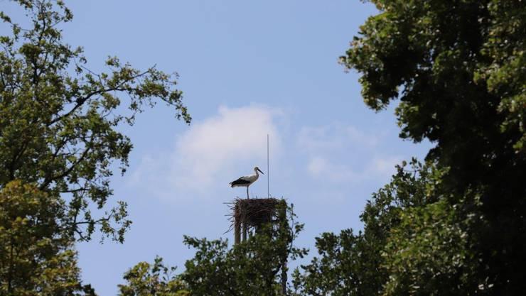 In Biel-Benken sollen die Störche künftig - neben dem Kirchturm - auch einen Mobilfunk-Sendemast bewohnen.