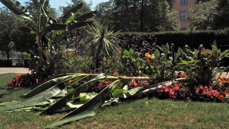 Die Bananenpflanzen wurden vor wenigen Tagen gewaltsam umgeknickt – zum zweiten Mal. Die Stämme sind zu stark beschädigt, um die Pflanzen zu retten.