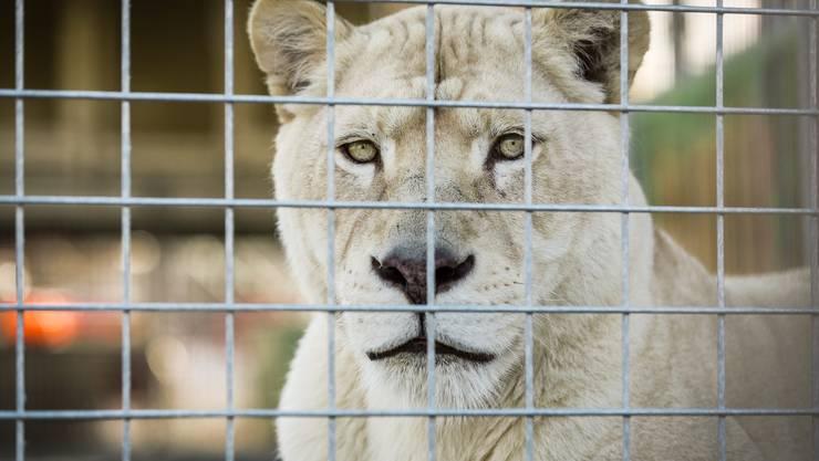 Princess ist eine der beiden weissen Löwinnen, die zusammen mit fünf anderen Artgenossinnen im Circus Royal auftreten.