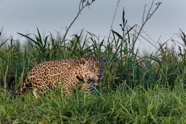 Der Jaguar ist die drittgrösste Raubkatze der Welt.