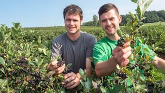 Die Brüder Philipp und Tobias Speiser pflücken die Aroniabeeren