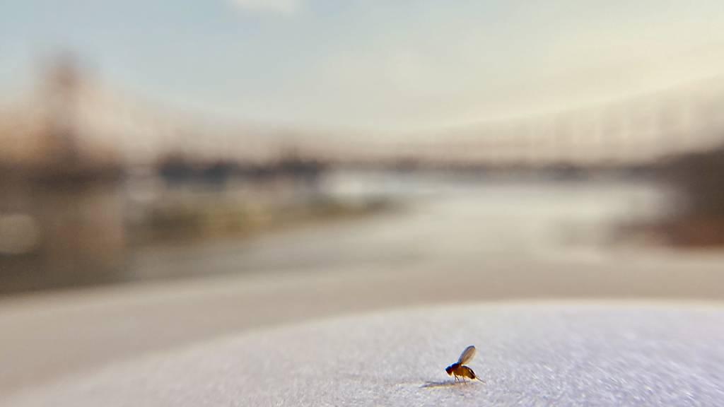 Fruchtfliegen reagieren empfindlich auf chronische Einsamkeit: Einer Studie zufolge verändern sie ihr Schlaf- und Fressverhalten, wenn sie isoliert sind. (Pressebild)