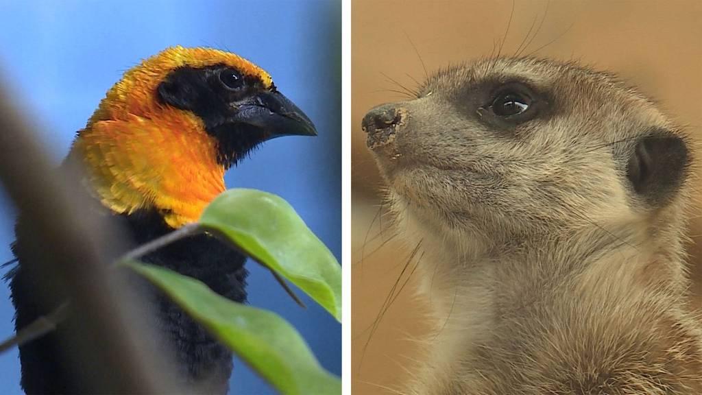 Exotische Vögel / Erdmännchen - Meister der Kommunikation