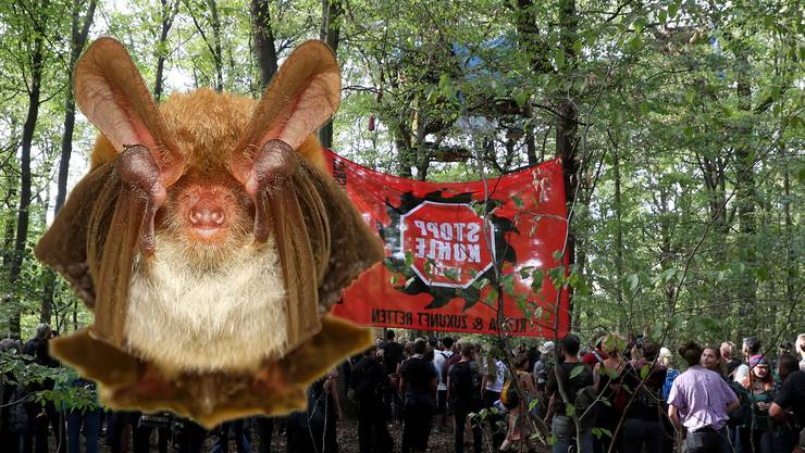 Die Bechsteinfledermaus ist ein Winzling und wiegt nur 10 Gramm – aber sie verhindert vorläufig, dass der Hambacher Forst in Nordrhein-Westfalen gerodet wird, um Platz für Braunkohleabbau zu machen.