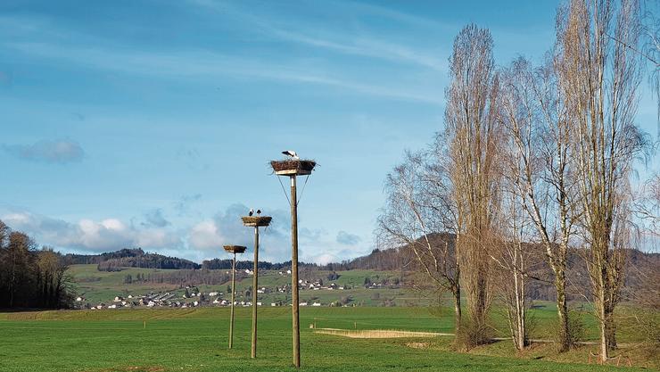 Idyllisch Alle vier Störche im März auf den zwei Horsten – das blieb aber nicht lange so.