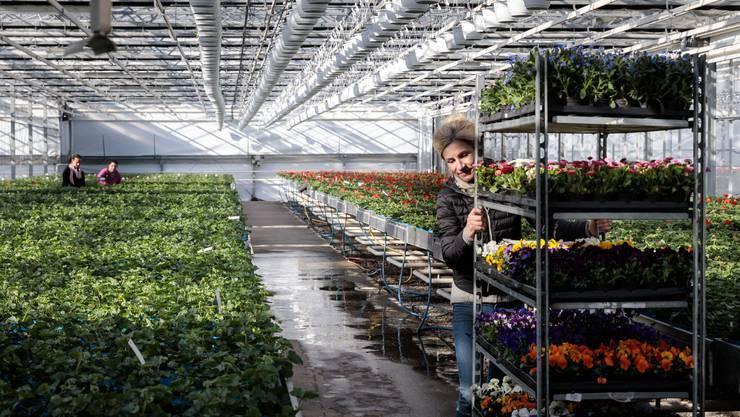 Gärtnereien oder Blumenläden könnten zu den ersten gehören, die wieder öffnen dürfen.