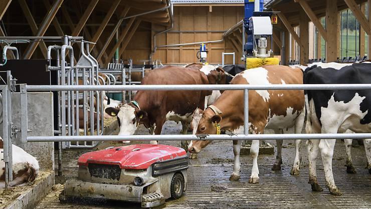 Was ist das denn? Neugierig beäugen Kühe den Reinigungsroboter im neuen Stall am Inforama Rütti in Zollikofen.