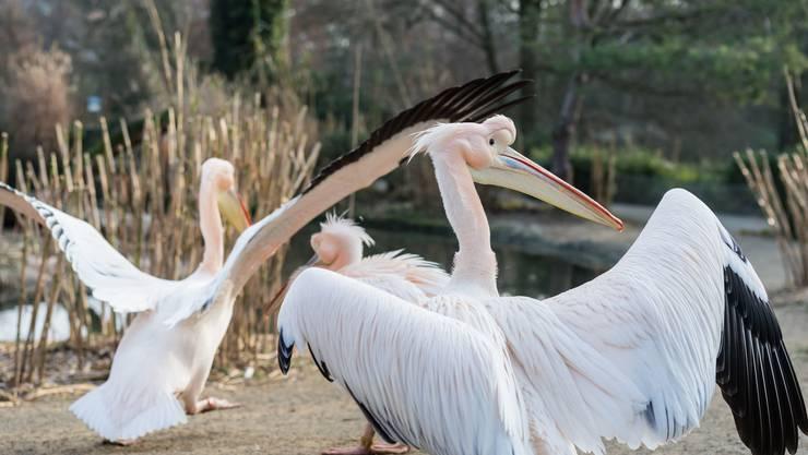 Die Rosapelikane im Zoo Basel sind in Brutstimmung.