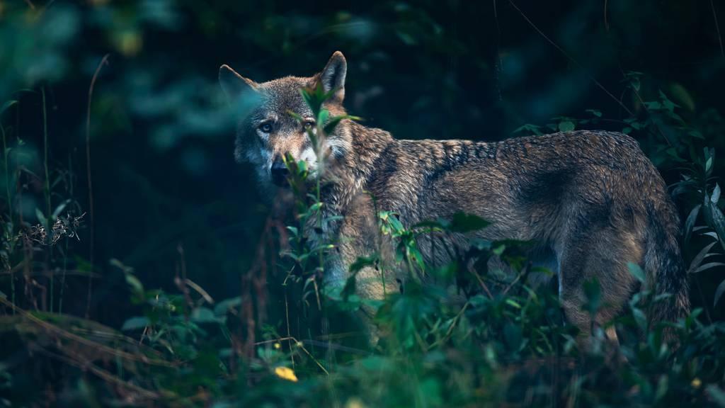 Wolf zu Gast im Kanton Zug