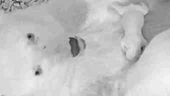 Bilder von der Videoüberwachung: Noch darf sich der Eisbärin und ihrem Nachwuchs niemand nähern.