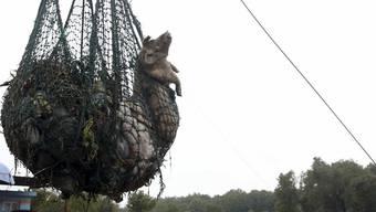 Tote Schweine werden aus dem Fluss gefischt (Archivbild)