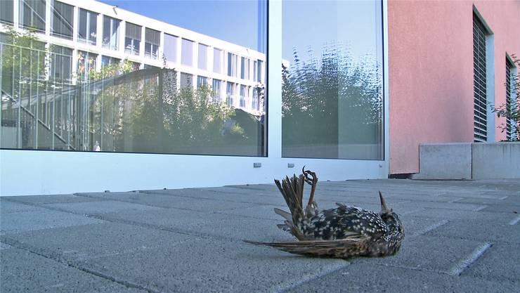 Spiegelnde Glasscheiben sind für Vögel, hier ein toter Star, eine extrem grosse Gefahr.