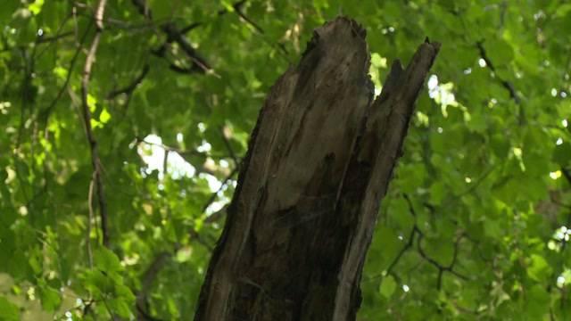 Kranke Bäume an der Aare