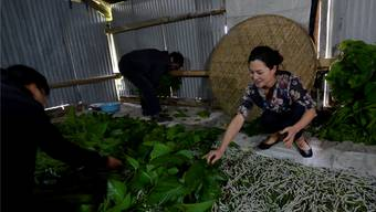 Hitomi Nakanishi deckt die Raupen mit Maulbeerblättern zu.