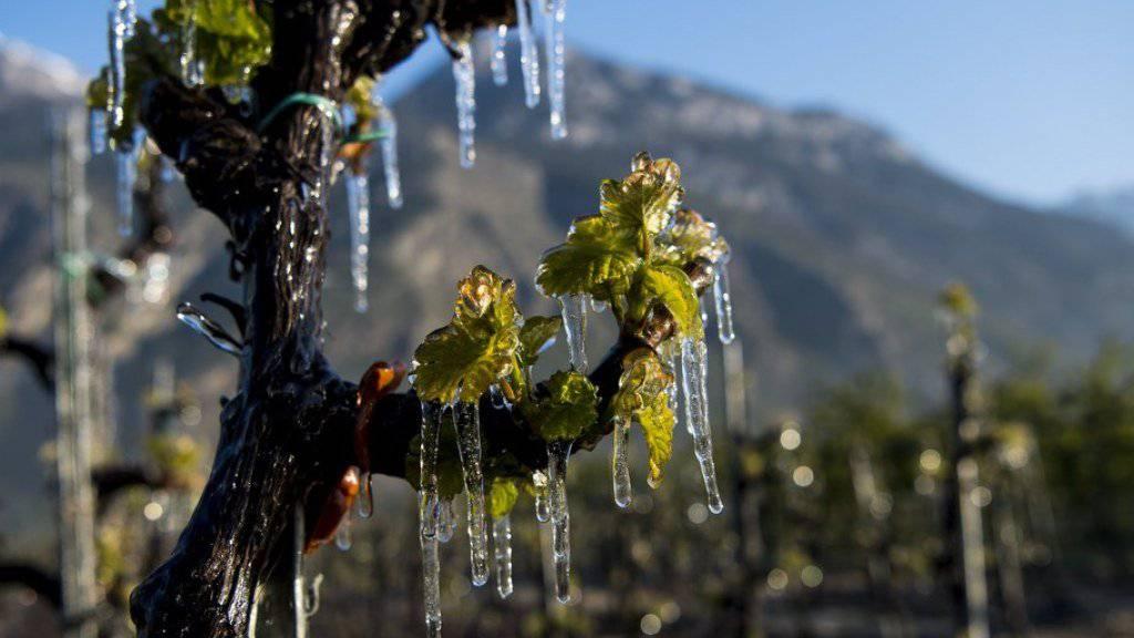 Ein Weinbauer in Saxon VS hat seine Reben zum Schutz vor der Kälte mit Wasser bespritzt.