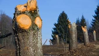 Bauern fällen in Hallwil zwei Dutzend Obstbäume – Anwohner empört