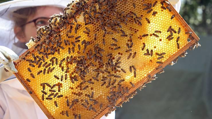 Rund jedes achte Bienenvolk hat den vergangenen Winter nicht überlebt. (Archivbild)