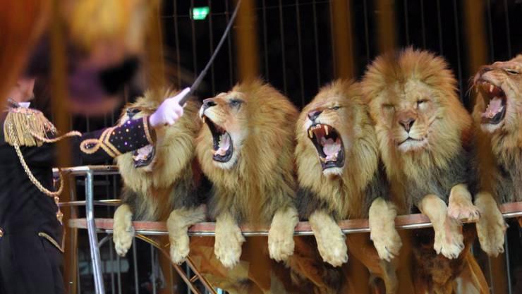 Der Circus Royal preist die Löwen-Nummer als Programm-Highlight an - für die Tierschützer ist sie Tierquälerei. (Symbolbild)