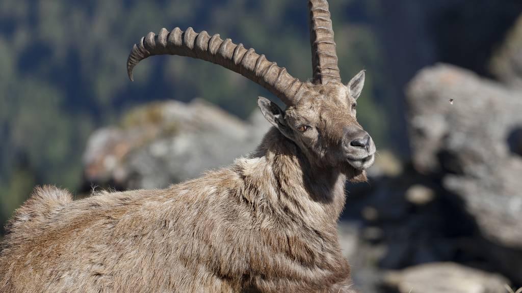 Ab dem kommenden Jahr dürfen Steinböcke im Wallis nur noch von einheimischen Jägern erlegt werden. TV-Bilder von reichen Ausländern auf Trophäenjagd hatten vergangenen Herbst eine Polemik ausgelöst. (Archivbild)