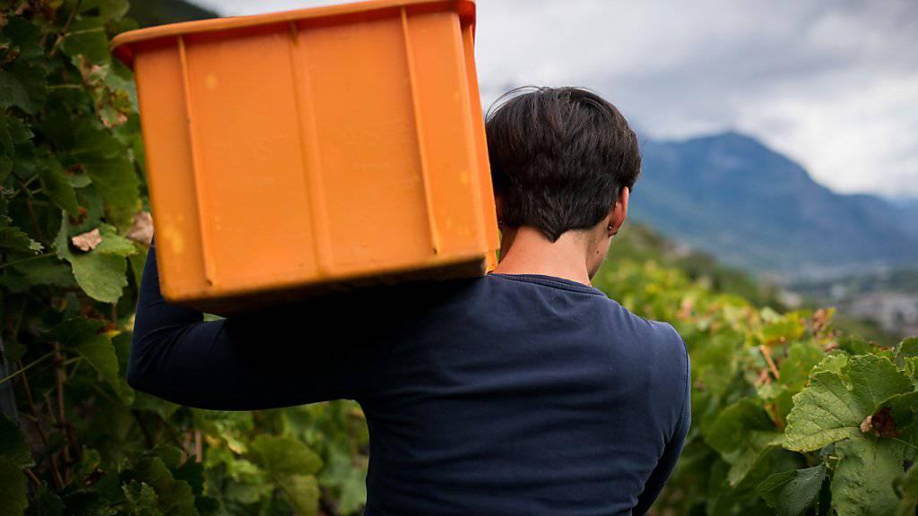 Auch wenn im Wallis so wenig Trauben wie zuletzt 1966 geerntet wurden, zeichnet sich ein vielversprechender Jahrgang ab.
