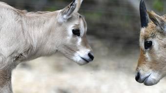 Arabische Oryx mögen es warm: die beiden Jungtiere Tahani und Thuraya.