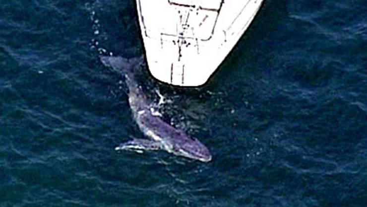 Ist ein Schiff in der Nähe, verringern Buckelwale das Singen oder hören ganz damit auf. (Archivbild)