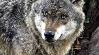 Wolf in Goldau kriegt neue Gefährten
