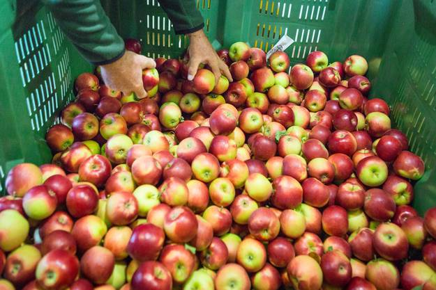 In Baden-Münzlishausen befindet sich einer der wichtigsten Archivgärten von Pro Specie Rara mit 280 Sorten, die hier vor dem Aussterben bewahrt werden. Apfelexperten Meinrad Suter zur Apfelernte in dieser Saison. Aufgenommen am 6. Oktober 2017 in Baden Baldegg.