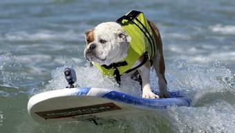 «Surf City Surf Dog»: Hunde reiten auf den Wellen Richtung Strand