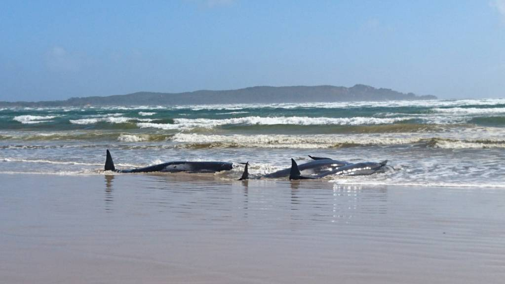 A supplied image obtained on Monday, September 21, 2020, of A pod of whales, believed to be pilot whales, that have become stranded on a sandbar at Macquarie Harbour, near Strahan, on Tasmania's west coast. (AAP Image/Tasmania Police) NO ARCHIVING, EDITORIAL USE ONLY