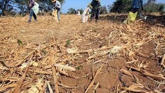 Arbeiter ernten Gemüse auf einer äthiopischen Farm - die Dürre hat einen Grossteil der Ernte zerstört.